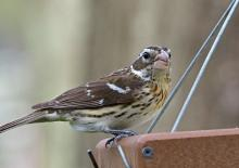 A female rose-breasted grosbeak in Framingham, photographed by Joan Chasan.