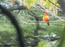 A scarlet tanager at Horse Meadows Knoll in Harvard, photographed by Tom Fama.
