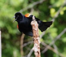 A red-winged blackbird in Southborough, photographed by Steve Forman.