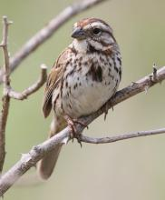A song sparrow in Southborough, photographed by Steve Forman.