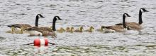 Canada geese at Hopkinton State Park, photographed by Steve Forman.