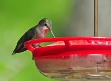 A ruby-throated hummingbird in Framingham, photographed by Joan Chasan.