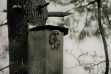 A barred owl owlet at its nest box in Sudbury, photographed by Liz Truebenbach.