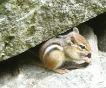 An eastern chipmunk eating an earthworm in Framingham, photographed by Steve Forman.