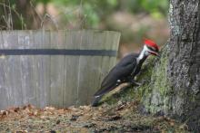 A pileated woodpecker in Sudbury, photographed by Liz Truebenbach.