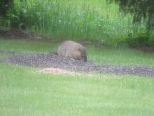 A woodchuck in Stow.