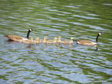 Canada geese at the Assabet River National Wildlife Refuge in Sudbury, photographed by Christine Goddard.