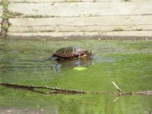 A painted turtle at the Assabet River National Wildlife Refuge in Sudbury, photographed by Christine Goddard.