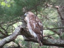 A red-tailed hawk at Assabet River National Wildlife Refuge in Sudbury, photographed by Christine Goddard.