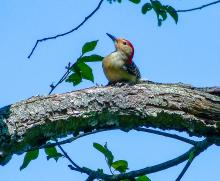 A red-bellied woodpecker in Concord, photographed by Terri Ackerman.