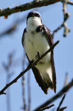 A tree swallow at Breakneck Hill Conservation Land in Southborough, photographed by Steve Forman.