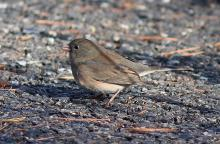 A dark-eyed junco in Sudbury, photographed by Dan Trippe.