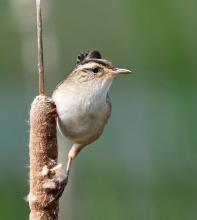A marsh wren at Great Meadows National Wildlife Refuge in Concord, photographed by Joan Chasan.