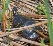 A painted turtle at Great Meadows National Wildlife Refuge in Concord, photographed by Joan Chasan.