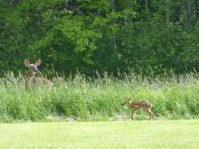 A white-tailed deer fawn in Concord, photographed by Terri Ackerman.