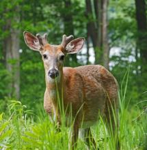 A white-tailed deer along Pelham Island Road in Wayland, photographed by Joan Chasan.