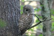 A barred owl at SVT's Memorial Forest in Sudbury, photographed by Tom Fama.