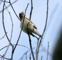 A cedar waxwing in Southborough, photographed by Steve Forman.