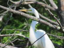 A great egret at Assabet River National Wildlife Refuge, photographed by Christine Goddard.