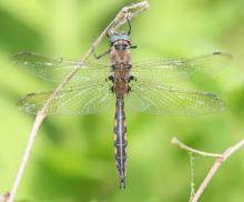A beaverpond baskettail dragonfly in Hopkinton, photographed by Steve Forman.