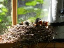 American robin chicks in Concord, photographed by Terri Ackerman.