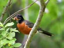An American robin in Lincoln, photographed by Harold McAleer.
