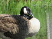 A Canada goose at Assabet River National Wildlife Refuge, photographed by Christine Goddard.