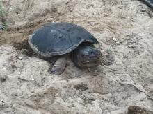 A snapping turtle laying eggs in Sudbury, photographed by Richard Morse.