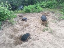 Snapping turtles laying eggs in Sudbury, photographed by Richard Morse.