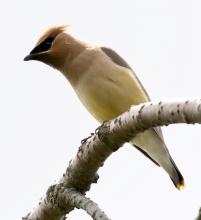 A cedar waxwing at Tower Hill in Boylston, photographed by Steve Forman.