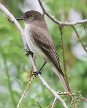 An eastern phoebe at Tower Hill in Boylston, photographed by Steve Forman.
