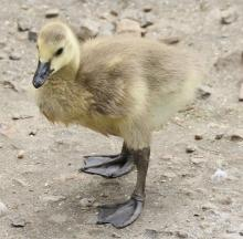 A Canada goose gosling at Hager Pond in Marlborough, photographed by Steve Forman.