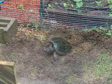 A snapping turtle laying eggs in Northborough, photographed by Marnie Frankian.