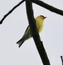 An American goldfinch at Great Meadows National Wildlife Refuge in Concord, photographed by Steve Forman.