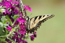 An eastern tiger swallowtail butterfly in Framingham, photographed by Steve Forman.