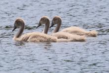 Mute swan cygnets at Farm Pond in Framingham, photographed by Steve Forman.