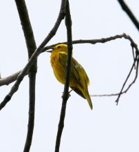 A yellow warbler at Breakneck Hill Conservation Land in Southborough, photographed by Steve Forman.