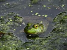 An American bullfrog at SVT's Memorial Forest in Sudbury, photographed by Craig Smith.