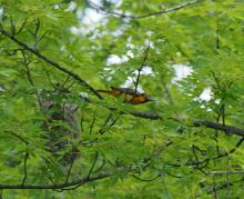 A Baltimore oriole at Great Meadows National Wildlife Refuge in Concord, photographed by Joan Chasan.