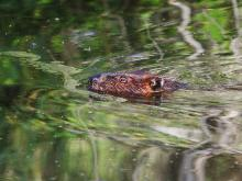 A beaver at SVT's Memorial Forest in Sudbury, photographed by Craig Smith.