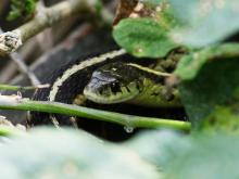 A common garter snake at SVT's Memorial Forest in Sudbury, photographed by Craig Smith.