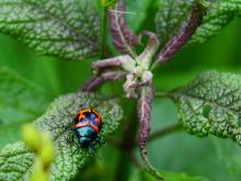 A milkweed leaf beetle at SVT's Memorial Forest in Sudbury, photographed by Craig Smith.