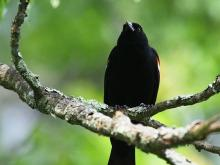A red-winged blackbird at SVT's Memorial Forest in Sudbury, photographed by Craig Smith.
