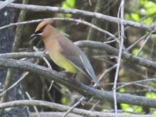 A cedar waxwing at Assabet River National Wildlife Refuge, photographed by Christine Goddard.