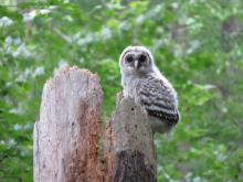 A barred owl in Sudbury, photographed by Irene Gruenfeld.