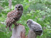 Barred owls in Sudbury, photographed by Irene Gruenfeld.