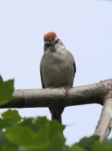 A chipping sparrow in Southborough, photographed by Steve Forman.