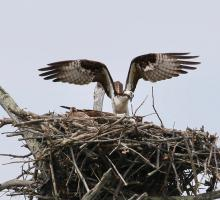 Ospreys at a nest in Hopkinton, photographed by Steve Forman.