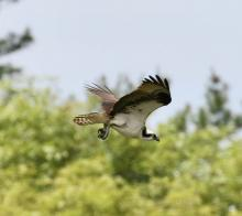 An osprey in Hopkinton, photographed by Steve Forman.