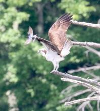 An osprey and a tree swallow in Hopkinton, photographed by Steve Forman.